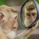 A monkey contemplates it's reflection in a hand held mirror.